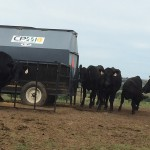 Cows with creep feeder